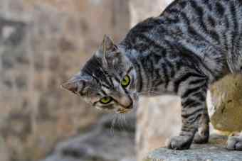 Image result for silver bengal green eyes