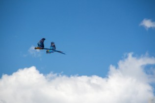 az-parrots-in-flight-2