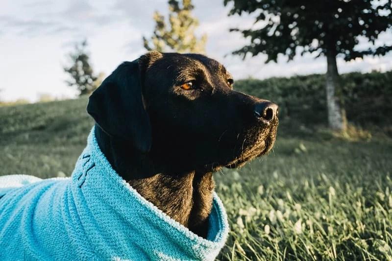 diy-hunde-labrador-bademantel