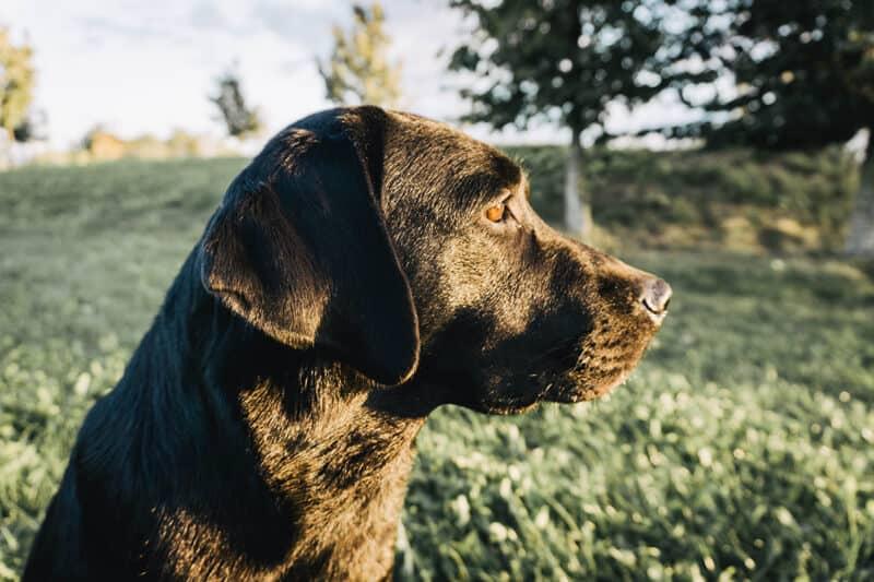 rasseportrait-labrador-retriever