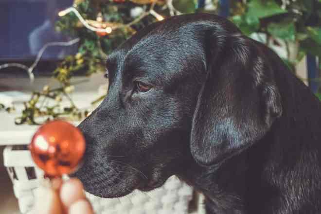 rudolf-rednose-dog