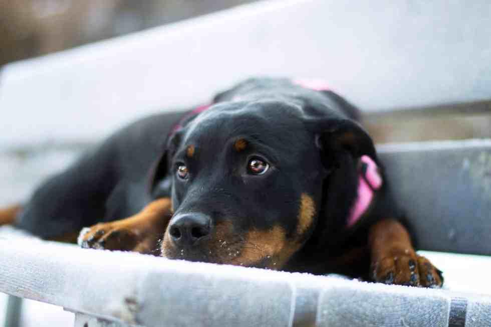 hunde-blog-rottweiler-rasse-rasseportrait