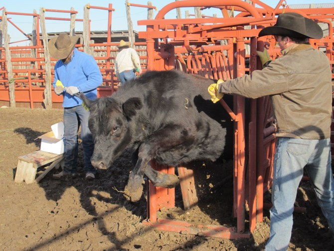 Tagging Cattle(Just Another Day On The Ranch)