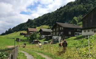 Von Disentis aus weiter durchs Rheintal, auf und ab. Lamas weiden allerorten.