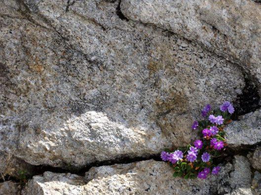 flora alpii francezi
