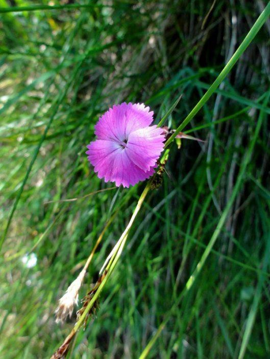 flora montana bucegi