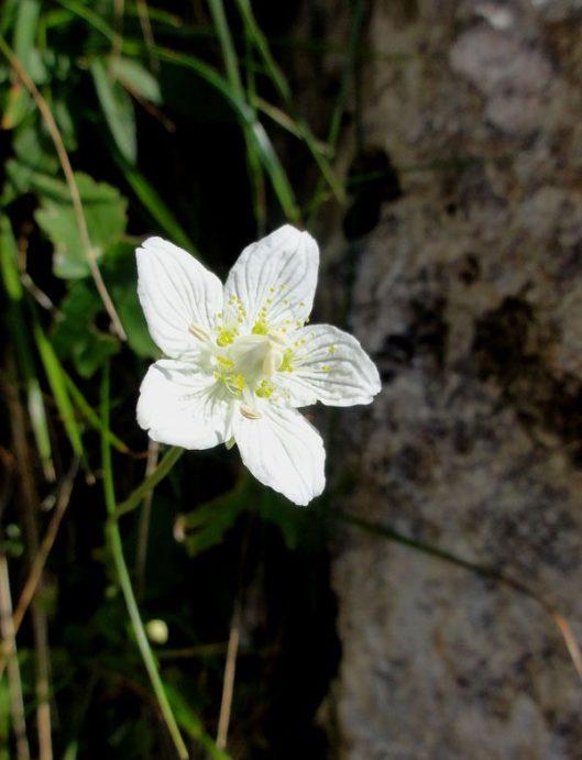 floare de munte_piatra craiului