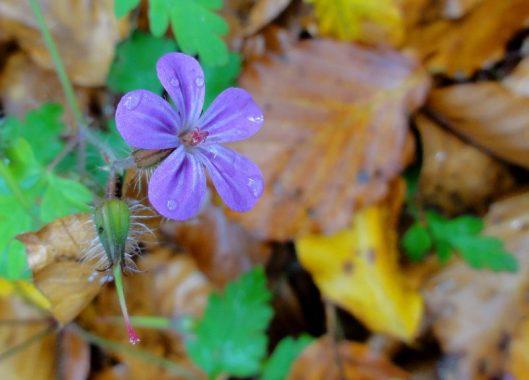 floare albastra de munte