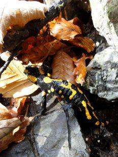 salamandra bucegi romania