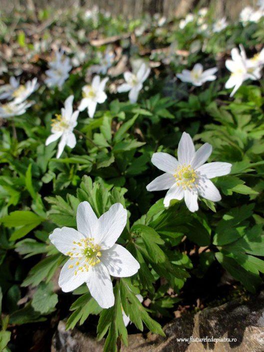 flori de primavara belgia