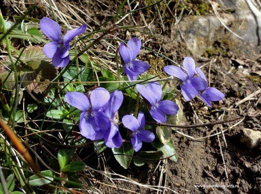 toporasi caltunei flori de primavara