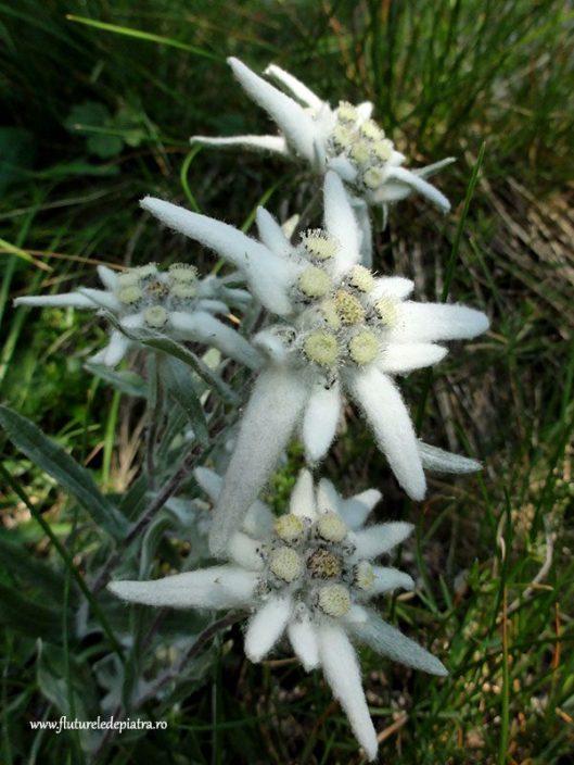 cum arata o floare de colt romania