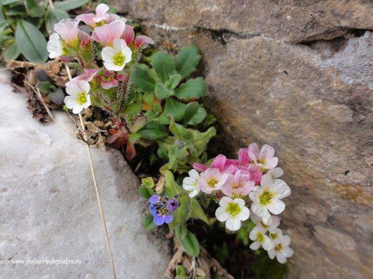 flori de munte, Bulgaria