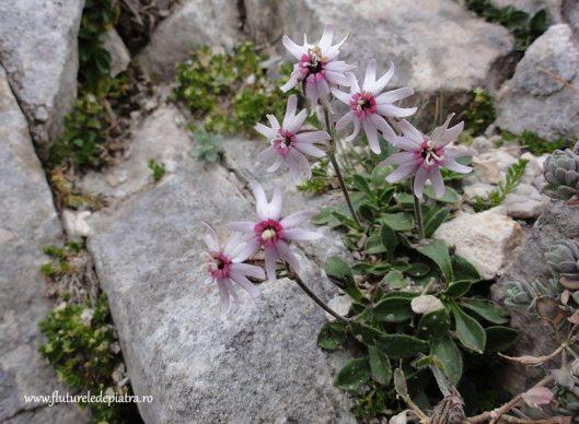 mountain flowers Carpathian Mountains