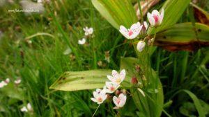 flora montana bulgaria