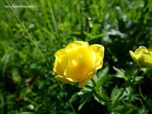 floare galbena piatra craiului