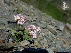 flora muntii fagaras
