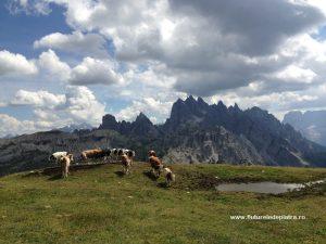 văcuțe alpiniste în Tre Cime di Lavaredo