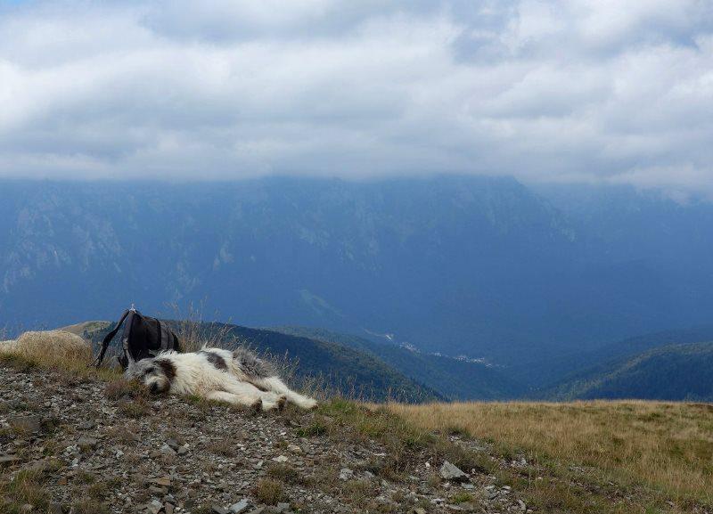 caine de turma oi munte muntii baiului