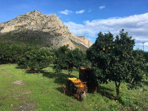 grădină cochetă de portocali, sezonul de cules