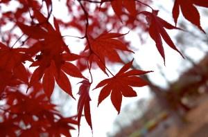 小金井公園 紅葉3