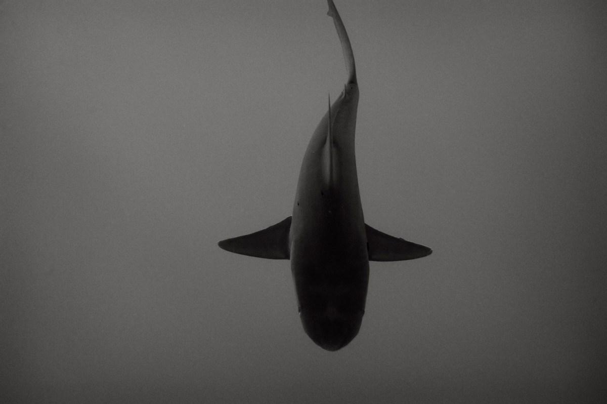 Shark Oahu The Sea FLUX Hawaii
