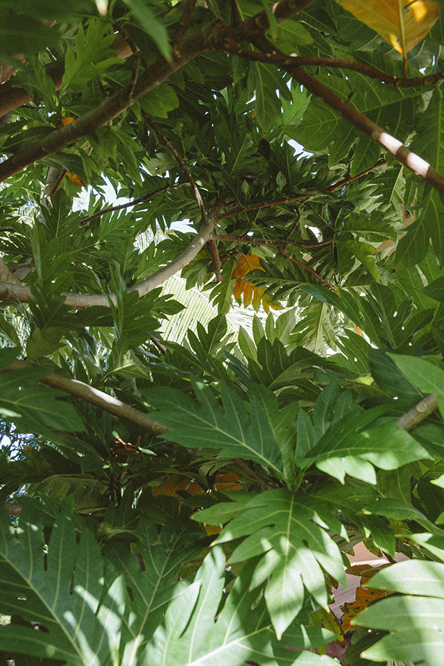 Breadfruit tree in Hawai'i Hawaii