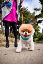 Bo, el pomerania más popular de Internet, parece más un oso de peluche que un perro.