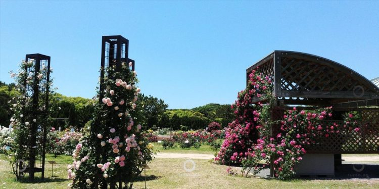 海之中道海濱公園 - 玫瑰花展