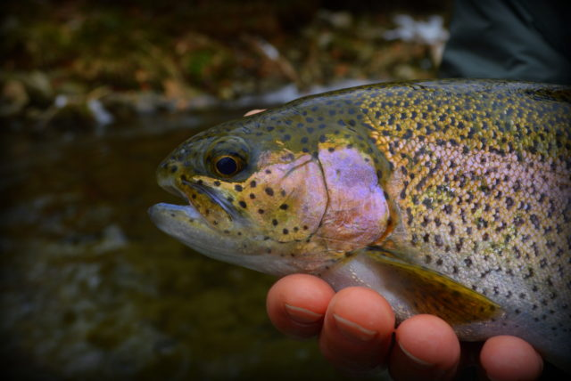 Hazel Creek Fly Fishing Day Trips, Fly Fishing the Smokies