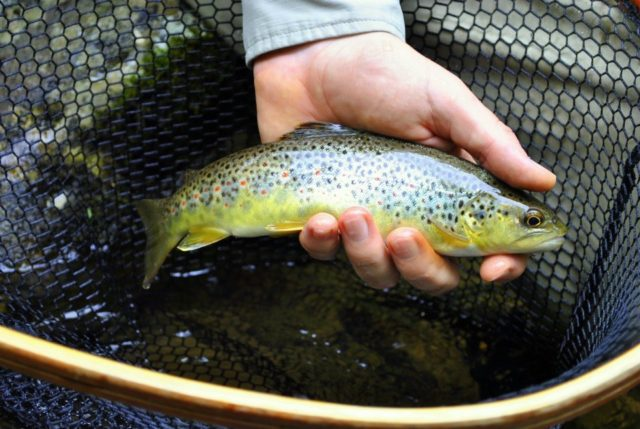 Hazel Creek Fly Fishing, Hazel Creek Brown trout, Fly Fishing the Smokies