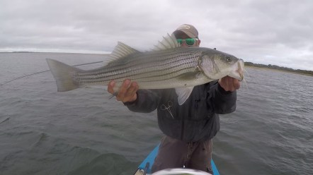 Healthy fall striped bass on the fly
