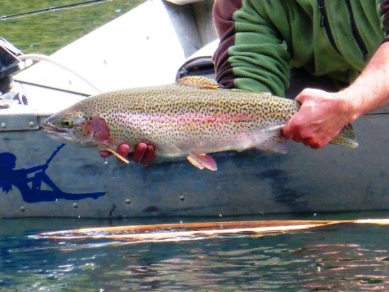 Rainbow trout strains stocked in bc fly fishing still for Stocked trout fishing