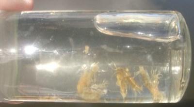 ... shrimp / scuds
