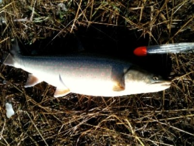 ... a beauty Peace River Bull Trout!