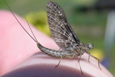 Fly Fishing Mayflies ... a BC Interior Adult Mayfly!