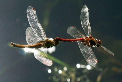 Fly Fishing Dragonfly Nymphs ... mating dragons!