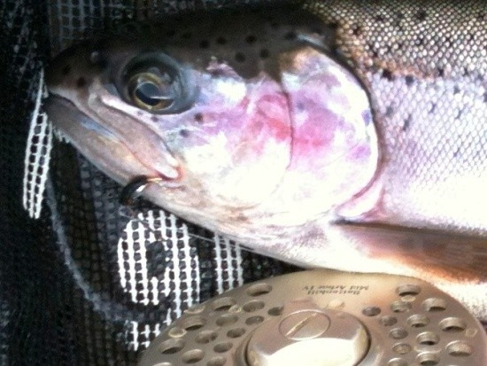 ... northern bow on the fly!