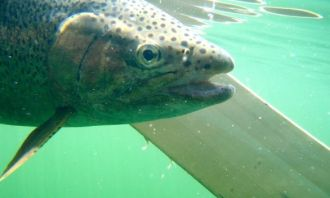 ... Alpine lake Rocky Mountain Rainbow Trout!
