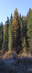 Larch changing in the fall