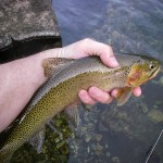 Beautiful Cutthroat troat