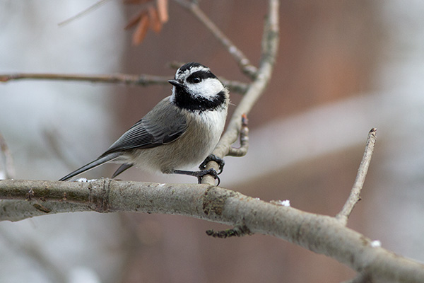 Winter Mountain Chickadee
