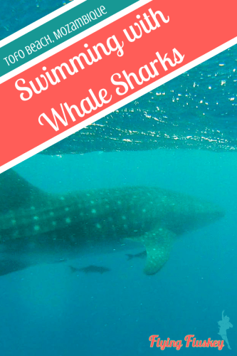 Swimming with whale sharks should be on your bucketlist. We went swimming with whale sharks in Mozambique (Tofo Beach) with Liquid Dive Adventures. #mozambique #tofobeach #praiadetofo #whalesharks #whaleshark #oceansafari