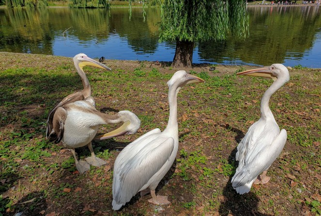 4 pelicans by the lake in St James's Park