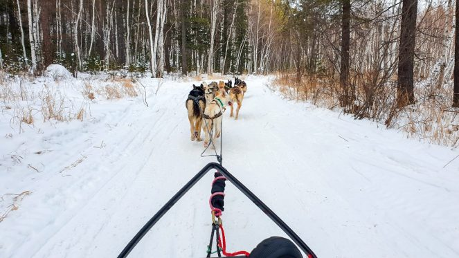 dog sledding in the woods in Siberia, Russia