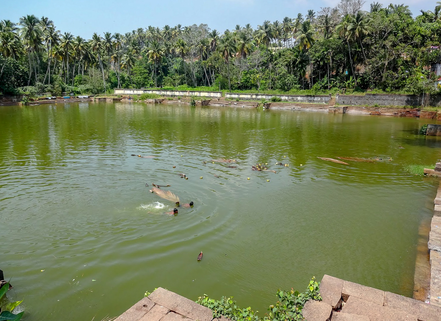 coconuts and plam leaves float in the green water of Janardanaswamy Temple pond, Varkala, Kerala, India