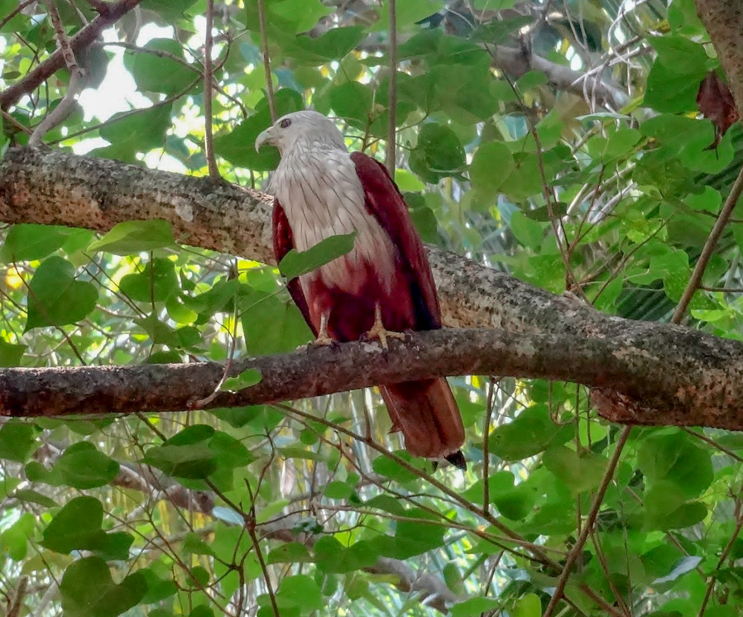 A Brahminy kite bird sits on a tree branch, behind are green leaves, in the Kappil Backwaters, Kerala, India