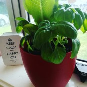 HOW TO HAVE FRESH BASIL CHEAPLY IN THE KITCHEN