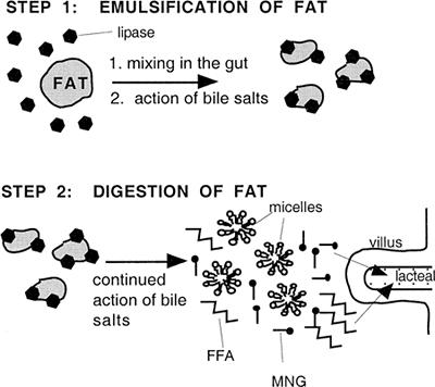 Image result for bile fat emulsification