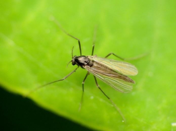 An adult midge sitting on a leaf